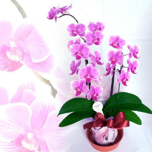 蘭 洋蘭 蘭鉢 ミニ胡蝶蘭フラワーギフト プレゼント 記念日 誕生日 贈答 花鉢 鉢花 鉢植え