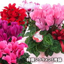 【送料無料】シクラメン 鉢 5号 花 お花 生花 鉢花 鉢植え 季節の花 季節の花鉢 おしゃれ 贈り物 花ギフト フラワー …