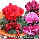 送料無料 シクラメン 鉢 6号 花 生花 季節の花 季節の花鉢 おしゃれ 贈り物 花ギフト フラワー ギフト 誕生日プレゼ…
