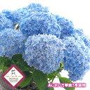 父の日 ギフト アジサイ 万華鏡 あじさい 5号鉢物 送料無料 青色 鉢植え 鉢植 花鉢 紫陽花 ブルー