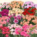 母の日ギフト カーネーション 花【5号鉢】お花 生花 母の日カーネーション 鉢 鉢植え プレゼント ギフト 母の日 母の…