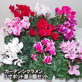 あす楽 ガーデンシクラメン ミックス 3寸ポット苗 9個セット 誕生日プレゼント 花 ギフト 生花 贈り物
