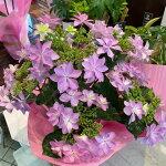 アジサイ鉢<ダンスパーティ・5号鉢・コンパクトサイズ>『高さは45cm色味がやや紫よりのピンク。小ぶりなダンスパーティプライスもお手頃』【2021母の日】【沖縄・離島はお届けできません】