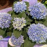 アジサイ鉢<マジカル・4.5号鉢>「コンパクトな仕立ての秋色アジサイの鉢植えです。」【送料無料】【2021母の日】【沖縄・離島はお届けできません】