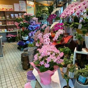 アジサイ鉢<ダンスパーティ・5号鉢・スリムサイズ>『実店舗の商品です。ラッピング・受け皿付。高さ45cm幅30cm』【2021母の日】【沖縄・離島はお届けできません】