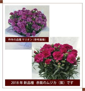 カーネーション7号鉢【2018母の日】【沖縄・離島はお届けできません】【同梱不可】