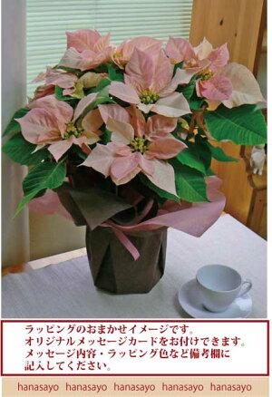 【送料無料】ポインセチア・ビジョン・オブ・グランデール<40センチ>白樺鉢カバー入り