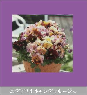 フリル咲きパンジー・ムーランルージュ<4ポットセット>【ムーランルージュ・ムーランフリル】【ベーシック】