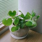 フィロデンドロン・グラジエラエ<陶器鉢>【あす楽】【観葉植物】【ギフト】【鉢植え】【沖縄・離島はお届けできません】