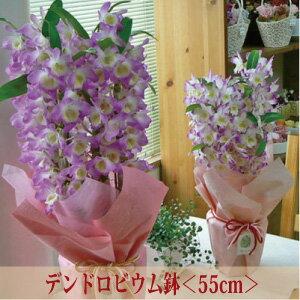 デンドロビューム<ギフト向き><ピンク系・55cm>【あす楽対応】【ラン花鉢 鉢植え】【北海道・寒冷地・沖縄はお届けできません】