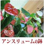 アンスリューム・ピンク系<プラ鉢>【あす楽対応】【送料無料】