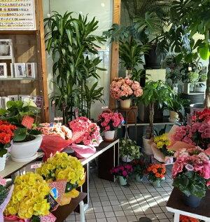 八重咲きベゴニア<5号鉢>【あす楽】【送料無料】【ベコニア】【寒冷地・沖縄・離島はお届けできません】【北海道・九州は追加送料【母の日】花お祝いフラワー
