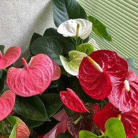 アンスリュームの鉢植え<6号鉢>『3色よりお選びください』【送料無料】【あす楽】【アンスリウム 鉢植え】 【花 ギフト】【鉢植え】【沖縄・離島はNG】