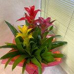 グズマニア観葉植物高さ60cm幅40cm<プラ鉢6号鉢受け皿付>【2020/6/30撮影】『トロピカルな室内向きグリーン3色の花が立っています』【あす楽】
