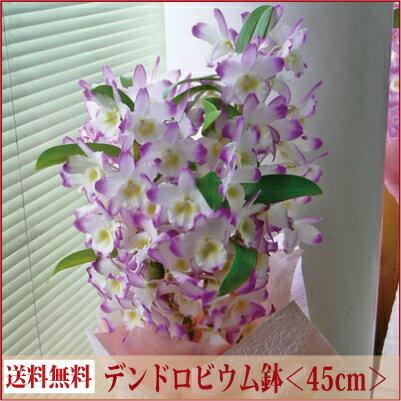 デンドロビューム<ギフト向き><ピンク系・45cm>【あす楽対応】【送料無料】【ラン花鉢 鉢植え】【離島・沖縄はお届けできません】