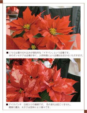 【送料無料】ポインセチア●赤●パンチ<40センチ>ラッピング付