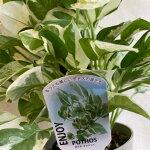 ポトス・エンジョイ<プラ鉢>受皿付観葉植物高さ55cm幅25cm(鉢4号)【あす楽】