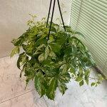 アメリカヅタバリエガータ観葉植物高さ25cm幅30cm吊り手45cm【2020/5/20撮影】『世田谷市場よりナイスな品が入荷。落葉性のキレイな蔦。我が家でも毎年に葉っぱが出てきます。秋には紅葉がキレイ』【あす楽】