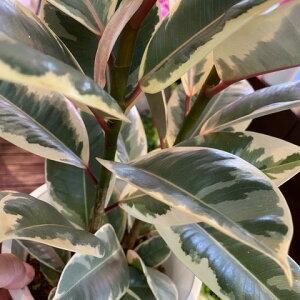 ゴム<斑入り>ティネッケ観葉植物全体高さ65cm幅30cm鉢幅18cm(6号鉢)白プラ鉢鉢皿付【2021/5/2撮影】『丈夫なインドアグリーンおしゃれなホワイトリーフ一番出荷のため下葉もキレイです』【あす楽】