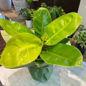フィロデンドロン インペリアルゴールド 観葉植物 全体高さ45cm 幅35cm 鉢幅 18cm(6号鉢) プラ鉢 【2021/5/2撮影】『いい色のインドアグリーン 鉢カバータイプのダブル鉢になっています。室内でお楽しみください』【あす楽】