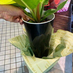 フィロデンドロンインペリアルゴールド観葉植物全体高さ45cm幅35cm鉢幅18cm(6号鉢)プラ鉢【2021/5/2撮影】『いい色のインドアグリーン鉢カバータイプのダブル鉢になっています。室内でお楽しみください』【あす楽】