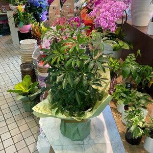 シェフレラコンパクタ観葉植物全体高さ60cm幅30cm鉢幅18cm(6号鉢)プラ鉢【2021/5/2撮影】『小さめの葉が可愛いカポックです。コンパクトできれい3本植えです』【あす楽】