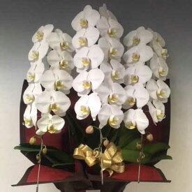 胡蝶蘭<白3本立>開花輪30〜36輪