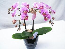 胡蝶蘭 プレゼント 花 ギフト 誕生日 お祝い ミニ 2本立ち 胡蝶蘭