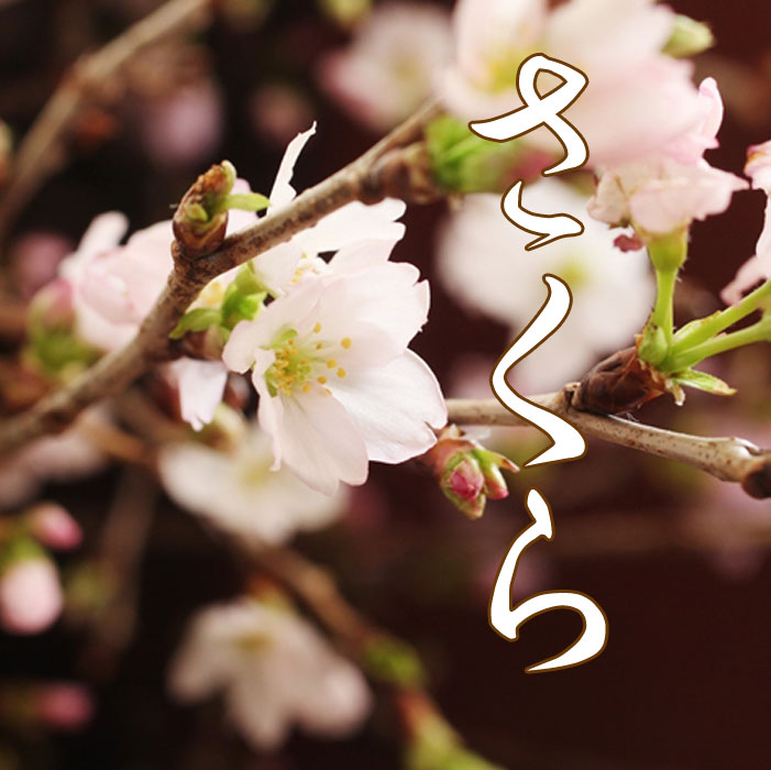 花束 春の花 桜 花 さくら 花束 サクラ 本州は送料無料 約10本くらい 桜の花束