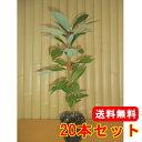 タブノキ 【20本セット】 樹高0.3m前後 10.5cmポット 【送料無料】 / /