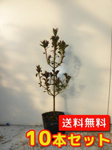 ドウダンツツジ 【10本セット】 樹高0.3m前後 10.5cmポット 【送料無料】 ポット苗生垣用 /