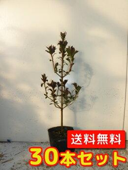 (【6ヵ月枯れ保証】条件有)ドウダンツツジ樹高0.3m前後30本セット【送料無料】ポット苗生垣用//