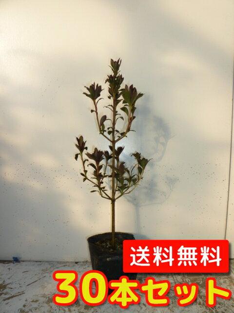 ドウダンツツジ 【30本セット】 樹高0.3m前後 10.5cmポット 【送料無料】 ポット苗生垣用 /