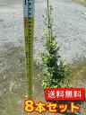 トキワマンサク(青葉白花) 樹高1.2m前後 18cmポット 【8本セット】 【Y2送料無料】 ときわまんさく(青葉白花) 常…