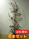トキワマンサク(赤葉赤花) 【8本セット】 樹高1.2m前後 18cmポット 【送料込み】 常盤満作 生垣用