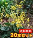 ツワブキ 【20本セット】 / 10.5cmポット 【送料無料】 / /