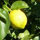レモン・アレンユーレカ 鉢植え専用果樹 【20本セット】 樹高0.3m前後 9cmポット 【送料無料】 アレンユーレカ あれん…