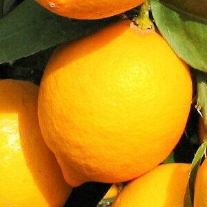 レモン・マイヤー 樹高0.2m前後 9cmポット 【 単 品 】 / れもん 檸檬 鉢植え専用果樹 販売 苗 植木 苗木 庭木 木 果樹 果樹苗 果樹園用