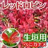 レッドロビン【20本セット】樹高0.4m前後10.5cmポット【送料無料】生垣...