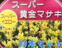 オウゴンマサキ 樹高0.3m前後 10.5〜12cmポット 【30本セット】 【T1送料無料】 おうごんまさき 黄金マサキ 販売 苗 …