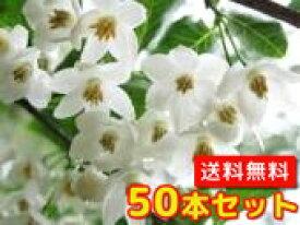 エゴノキ 【50本セット】 樹高0.5m前後 10.5cmポット 【送料無料】 白い清楚な花が、枝いっぱいに咲く木 /