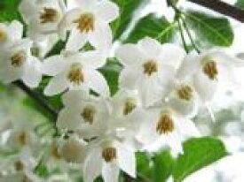 エゴノキ 樹高1.0m前後 12cmポット / / えごのき 白い清楚な花が、枝いっぱいに咲く木 販売 苗 植木 苗木 庭木 垣根 生垣 生け垣 生垣用 山林苗 目隠し 木