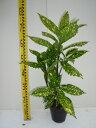 フイリアオキ / 樹高0.3m前後 15cmポット / 斑入り青木 /
