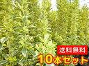 キンマサキ 樹高0.4m前後 15cmポット 【10本セット】 【T1送料無料】 きんまさき 金マサキ 斑入りマサキ 販売 苗 植木…