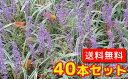 フイリヤブラン 【40本セット】 / 10.5cmポット 【送料無料】 斑入りヤブラン /