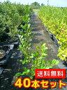 ハマヒサカキ 【40本セット】 樹高0.3m前後 10.5cmポット 【送料無料】 生垣 /