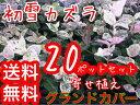 ハツユキカズラ 【20本セット】 / 9cmポット 【送料無料】 初雪カズラ ハツユキカヅラ苗