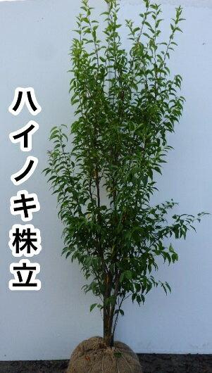 ハイノキ / 樹高1.2m前後 根巻き 【送料込み】 株立ちはいのき【灰の木】 常緑樹で5-6月に小さな白い花をたくさん咲かせます。