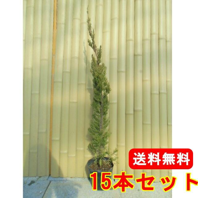 カイズカイブキ 【15本セット】 樹高0.7m前後 15cmポット 【送料無料】 コニファー (カイヅカイブキ)