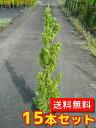 カイズカイブキ 【15本セット】 樹高0.8m前後 15cmポット 【送料無料】 コニファー (カイヅカイブキ)
